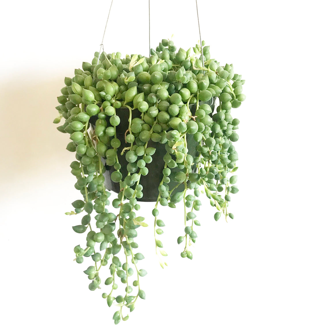 Hanging String of Pearls