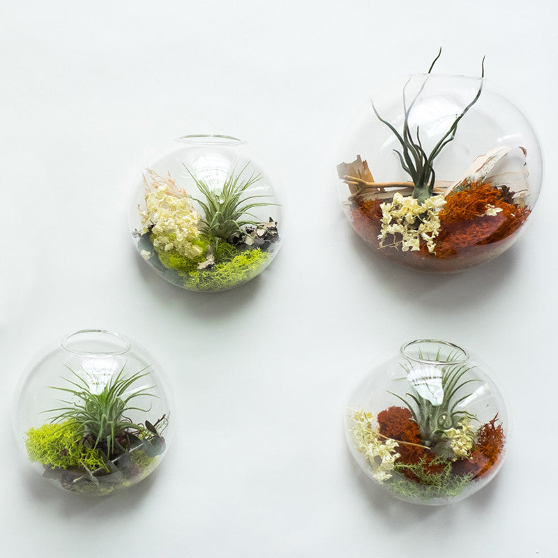 Large Bubble Terrarium Tillandsia (air plant)