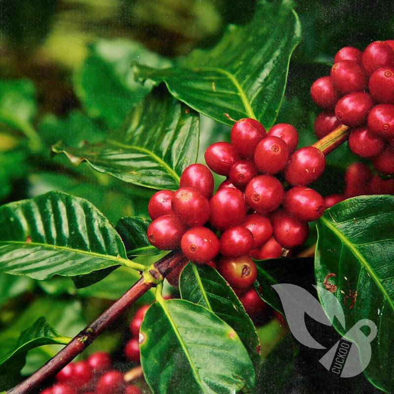 60% of Wild Coffee Species In Danger