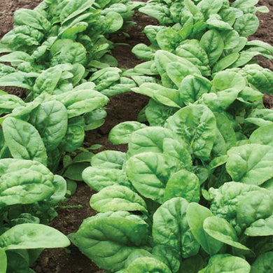 Spinach - 1 lb