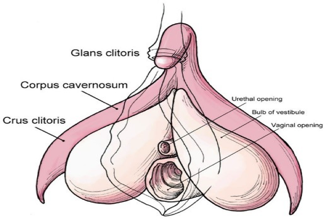 Anatomy of the clitoris