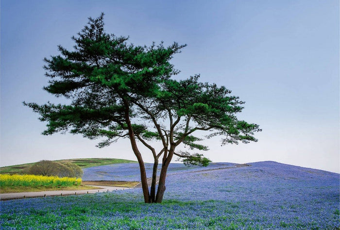 Wizard+Genius Tree in Blue Flower Field in Japan Vlies Fotobehang 384x260cm 8-banen