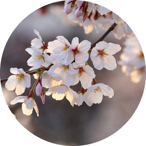 Wizard+Genius Cherry Blossoms Vlies Fotobehang 140x140cm rond | Yourdecoration.be