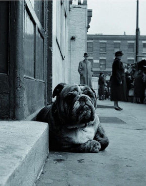 Gay - Lazy Bulldog at Camden Town Kunstdruk 40x50cm | Yourdecoration.be