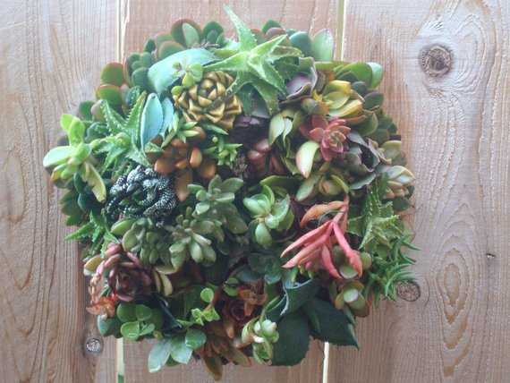 Living Color 12 Inch Growing Succulent Plant Living Wreath succulent cuttings succulent starts succulent clippings