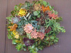 Living Color 10 inch Holiday Christmas Living Wreath of Growing Succulent Plants succulent cuttings succulent starts cuttings