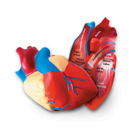 Cross - Section Heart Model - iPlayiLearn.co.za