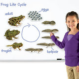Giant Magnetic Frog Life Cycle - iPlayiLearn.co.za  - 2