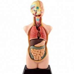 Human Anatomy Model 11pc 50cm - iPlayiLearn.co.za