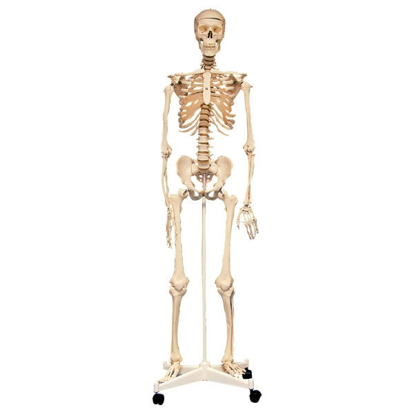 Skeleton with Stand 160cm - iPlayiLearn.co.za