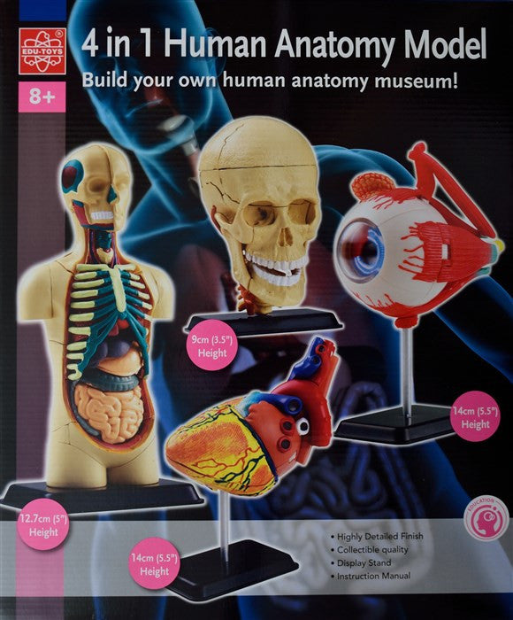 4 in One Human Anatomy Model (Eyeball, Human Body, Heart & Cranial Nerve Skull) - iPlayiLearn.co.za