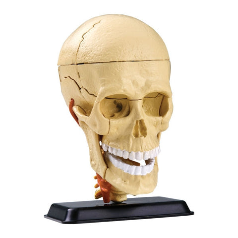 Anatomy Model : Cranial Nerve Skull 39pc