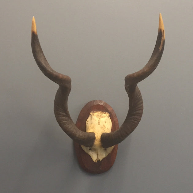 antique kudu horns on shield