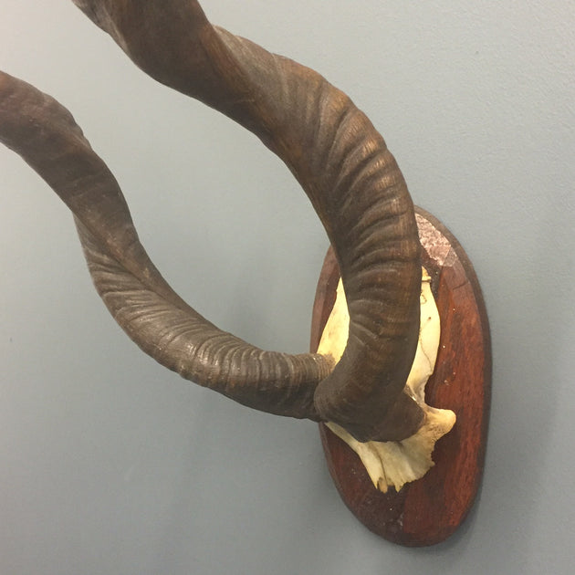 Small Set of Kudu Horns