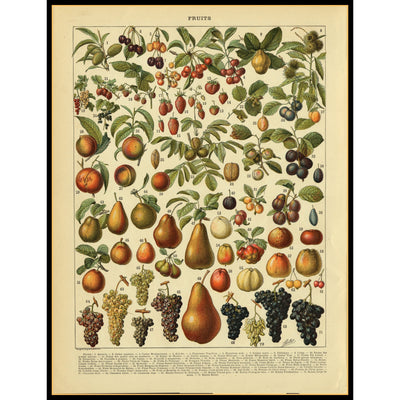 Framed Antique Illustration of Fruits 1 circa 1895