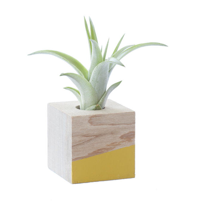 Cube Air Plant Magnet - Yellow