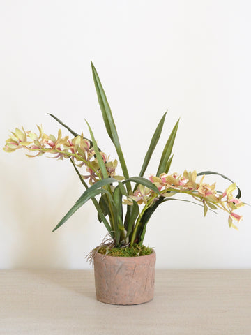 Cymbidium Orchid in Terracotta Planter