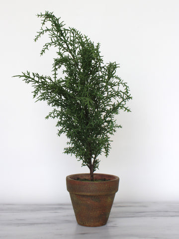 Potted Cypress