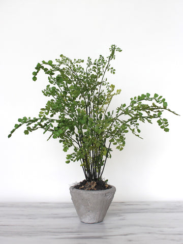Maidenhair in Terracotta Pot
