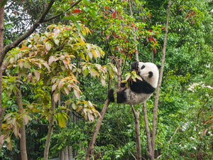 Comment appelle-t-on un panda femelle ?