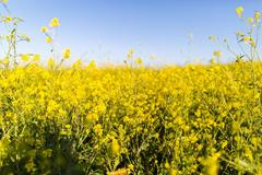 rapeseed field healthy fats for cooking