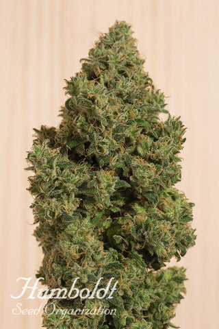 HSO - Blue Dream CBD, Feminized (5 pack)