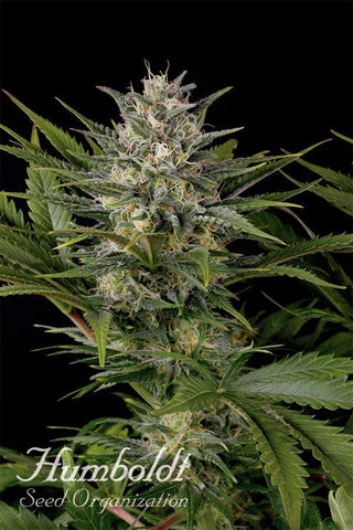 HSO - Pineapple Skunk, Feminized (5 pack)