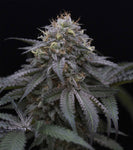 HSO - Sugar Breath, Feminized (5 pack)