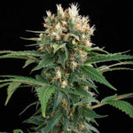 Dinafem - Blue Thai, Feminized (5 pack)