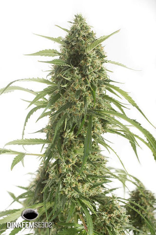 Dinafem - White Widow XXL, Auto (5 pack)