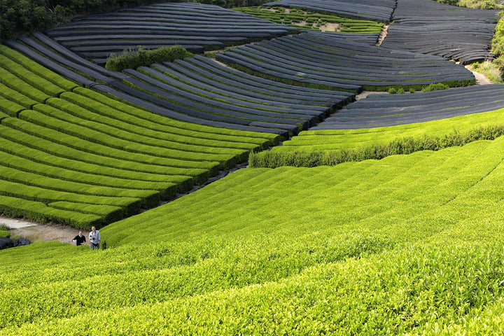 How Matcha is Produced