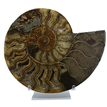 Load image into Gallery viewer, Ammonite Fossil