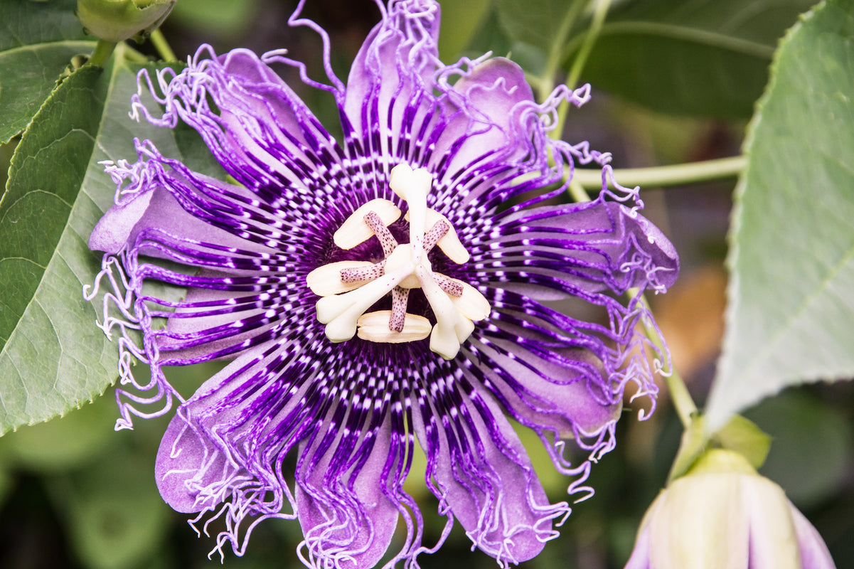 Passionflower For Sleep Remrise