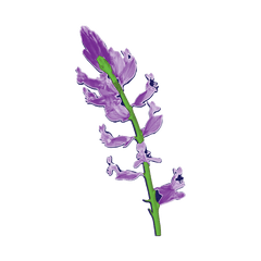 Polygala for sleep