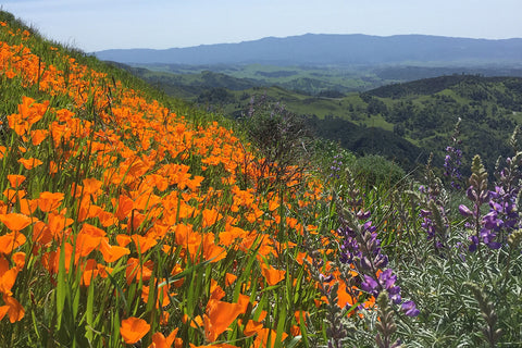 Figueroa Mountain with wildflowers