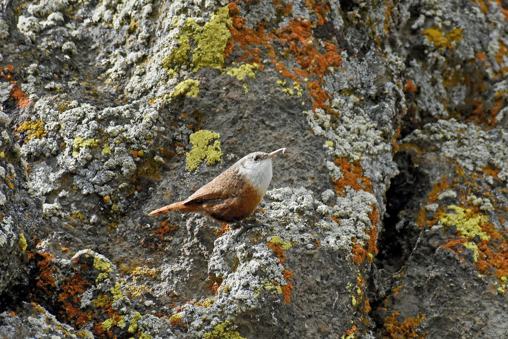 The Canyon Wren inhabits many of the river canyons throughout the southwestern United States. You hardly see them, but you always hear them – their song is very distinct.