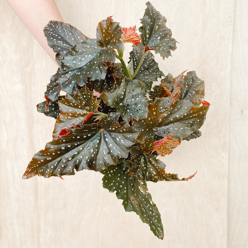 "6"" Angel Wing Begonia 'Fannie Moser'"