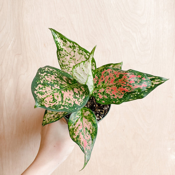 "4"" Aglaonema 'Wishes'"
