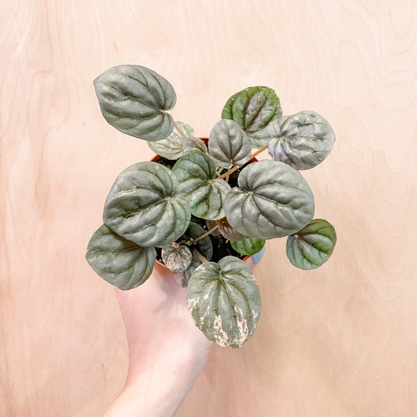 "4"" Peperomia Caperata 'Pink Lady'"