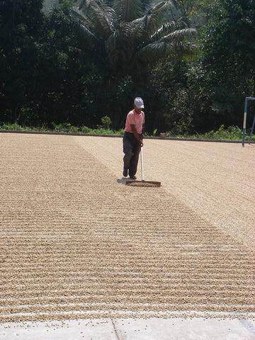 A coffee farmer works on an newly planted field.