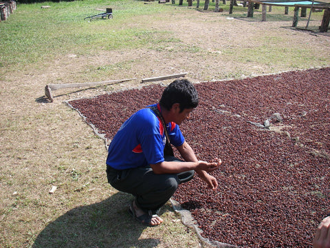 A coffee farmer selects coffee cherries for processing.