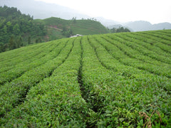 Enshi Xuan en Yulu tea gardns in Hubei, China.