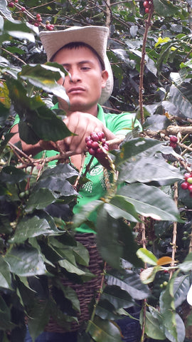 One of Amaro Chasquero Jaramillo's sons picking coffee during the August harvest. Coffee picking has to be done entirely by hand due to the steep slopes on which quality coffee grows.