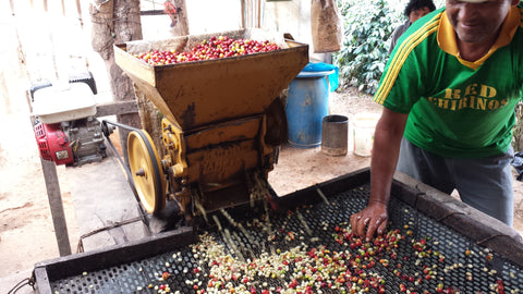 Once the coffee has been picked it must be immediately pulped to separate the seeds from the fruit. Most farms in the region have their own 'wet mills' where coffee can be pulped, fermented, washed and dried before delivery to the cooperative as 'dry parchment'.