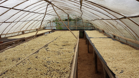 Coffee is dried using heat from the sun. This is normally done on tarps laid out on concrete patios, however the frequent rainfall during the harvest season in Jaén has forced many producers to get creative. Above is a parabolic drier that regulates heat and humidity while keeping the rain out. Don Mardoqueo and various other producers have also built second stories to their houses and they use the second floor as a covered drying patio with doors built on either side of the structure to allow for adequate ventilation.