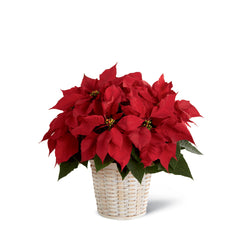 The Red Poinsettia Basket (Large, Medium, Small)