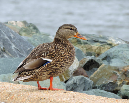 Mallard Hen Greeting Card