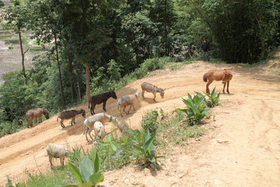 Rescued Brick Industry Donkeys Living the Good Life in Nepal