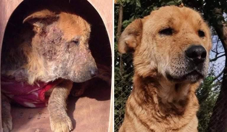 Street Dog in Kathmandu - before and after treatment for mange