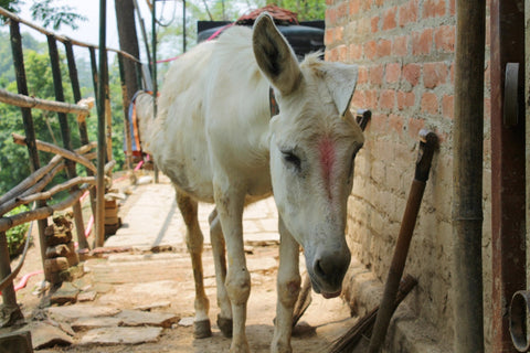 Donkey Sanctuary in Nepal